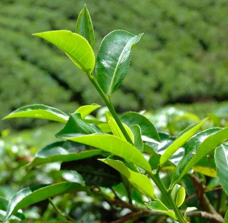 Создатели цейлонского чая