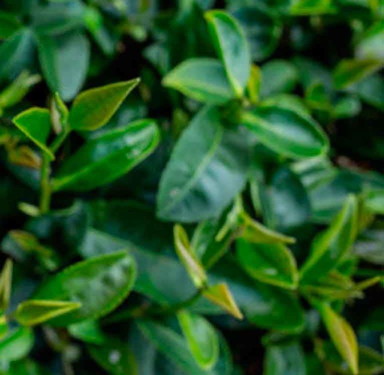 Новый взгляд на старые истины. Стоит ли заваривать зеленый чай более теплой водой?