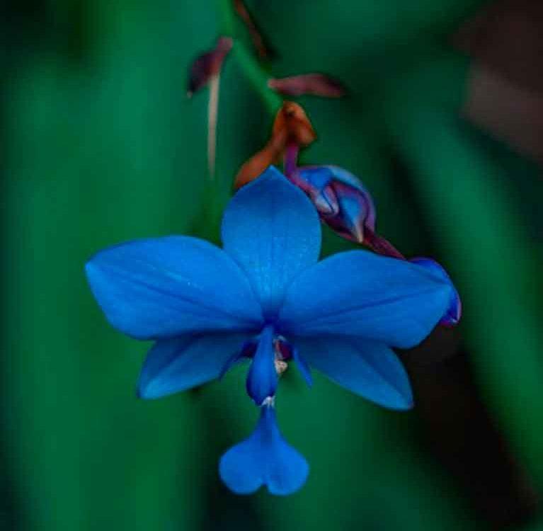 Разница между цветами Анчан в бутонах и в порошке