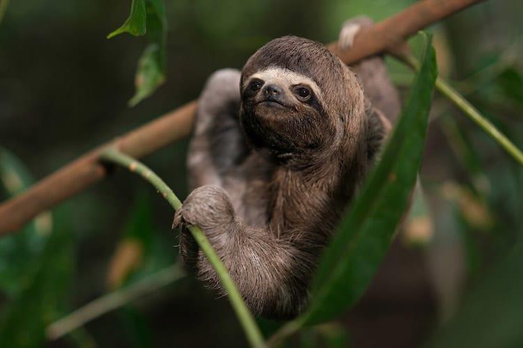 Delfin I Amazon's 4-Day Itinerary Day One - Three Toed Sloth.