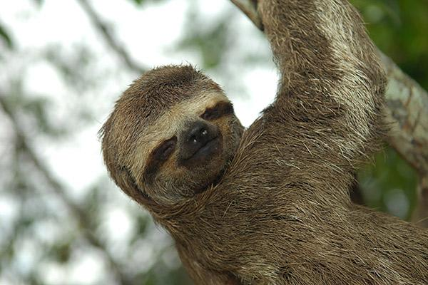 Aria Amazon's 8-Day Itinerary Day Two - Three-Toed Sloth Sighting.