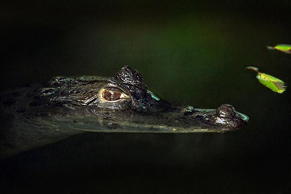 Aria Amazon's 8-Day Itinerary Day Five - Caiman Sighting.