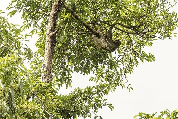 Zafiro's 8-Day Itinerary Day Eight - Sloth Sighting.