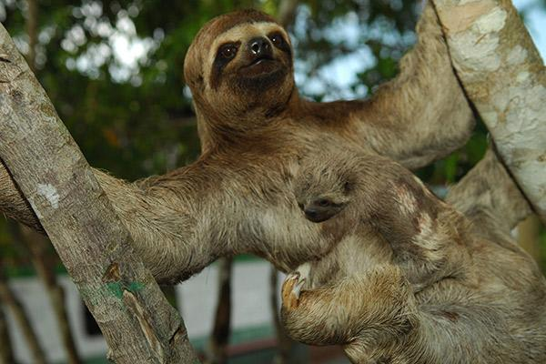 Aqua Nera's 4-Day Itinerary Day Two - Sloths in the Amazon.