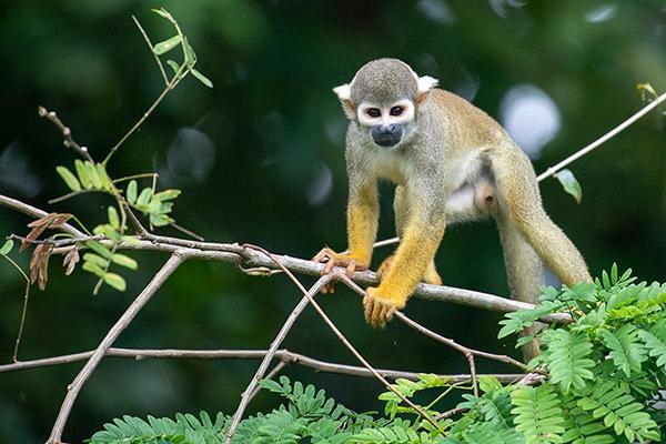 Aqua Nera's 8-Day Itinerary Day Six - Squirrel Monkey Sighting.