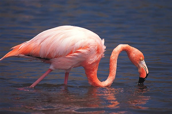 Santa Cruz II's 5-Day Western Itinerary Day One - Flamingo Sighting.