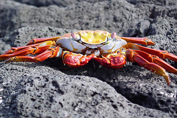 Santa Cruz II's 5-Day Western Itinerary Day Five - Sally Lightfoot Crab Sighting.