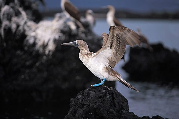 Santa Cruz II's 7-Day Itinerary Day Two - Blue-Footed Booby Sighting.