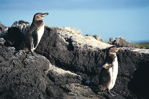 Eco Galaxy's 6-Day Itinerary B Day Four - Galapagos Penguin Sighting.