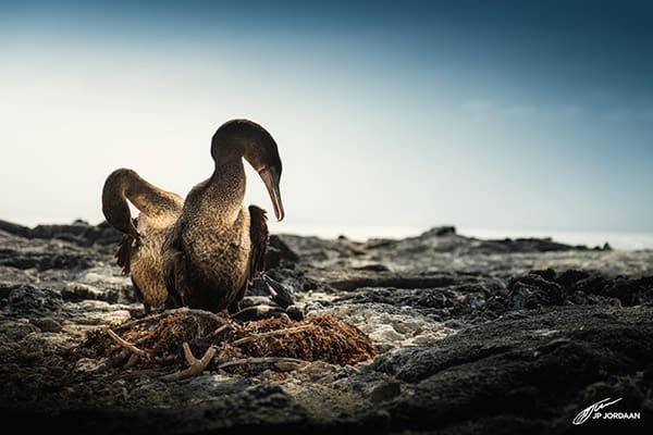 Origin's 8-Day Itinerary B Day Four - Flightless Cormorant Sighting.