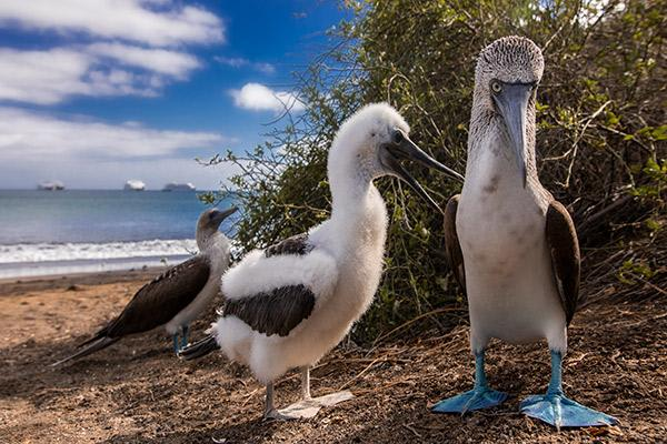 Petrel's 5-Day Itinerary Day Three - Blue-Footed Booby Sighting.