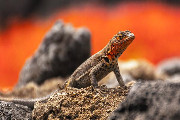 Petrel's 5-Day Itinerary Day Four - Lava Lizard Sighting.