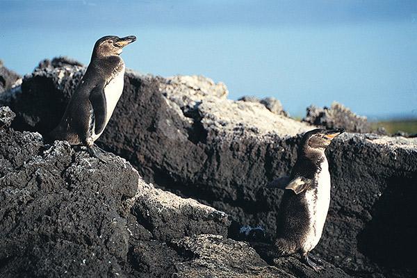 Petrel's 6-Day Itinerary A Day Three - Galapagos Penguin Sighting.
