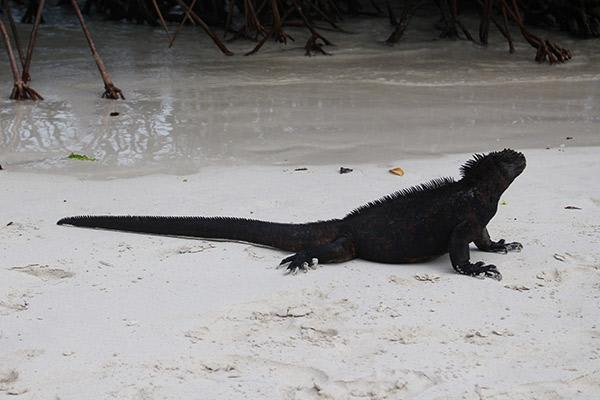 Petrel's 8-Day Itinerary A Day Two - Marine Iguana Sighting.