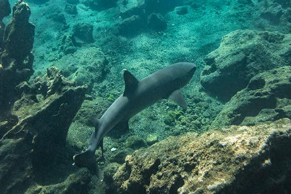 Petrel's 8-Day Itinerary A Day Four - Reef Shark Sighting.