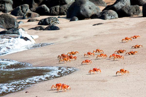 Infinity's 5-Day Itinerary Day Two - Sally-Lightfoot Crabs along the shore.