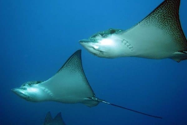 Calipso's 8-Day Naturalist Itinerary Day Four - Rays Underwater.