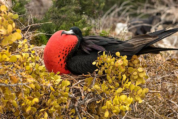 Natural Paradise's 8-Day Itinerary A Day One - Frigate Bird.