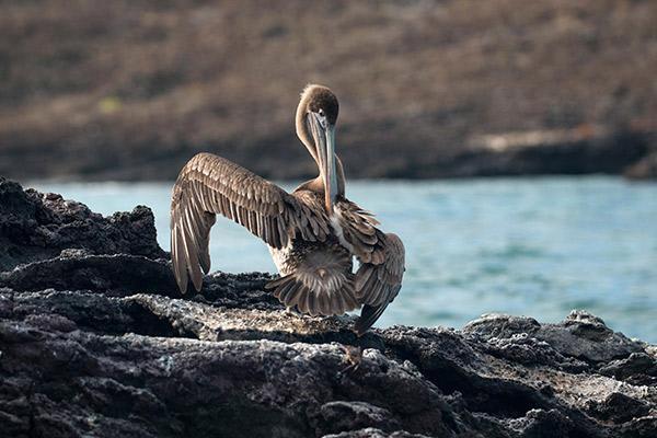 Natural Paradise's 8-Day Itinerary A Day Three - Galapagos Pelican.