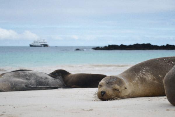 Cormorant I's 5-Day Itinerary Day Three - Galapagos Sea Lions Napping.