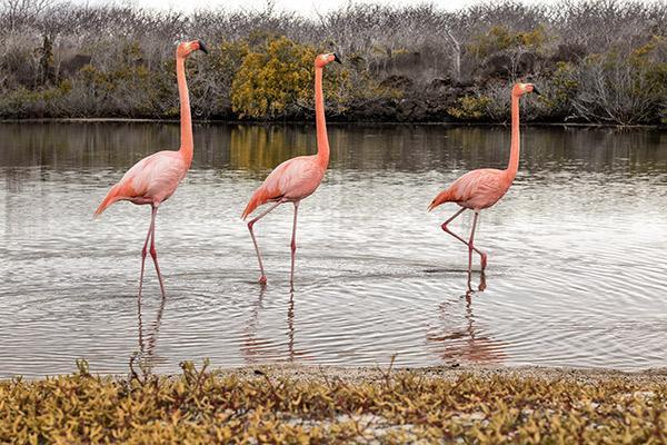 Cormorant I's 8-Day Itinerary B Day Three - Flamingos in the Galapagos.