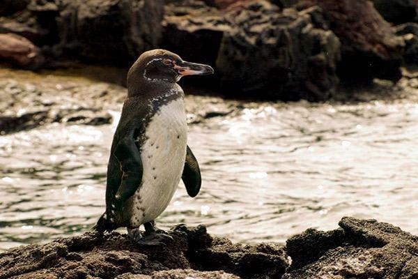Nemo II's 8-Day Northern Itinerary Day Three - Galapagos Penguins at Moreno Point.