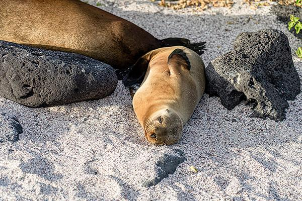 Nemo II's 8-Day Northern Itinerary Day Five - Galapagos Fur Seal.