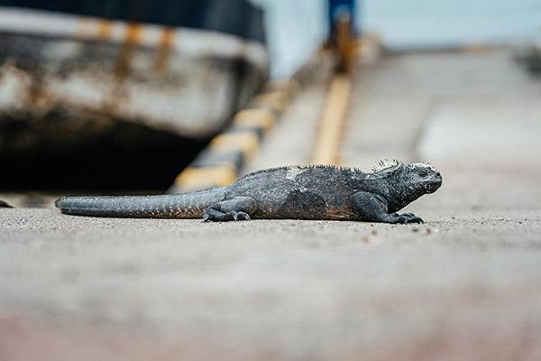 Nemo II's 8-Day Northern Itinerary Day Seven - Marine Iguana on land.
