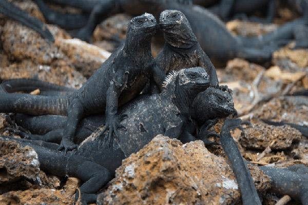 Nemo II's 8-Day Southern Itinerary Day Four - Group of Marine Iguanas.