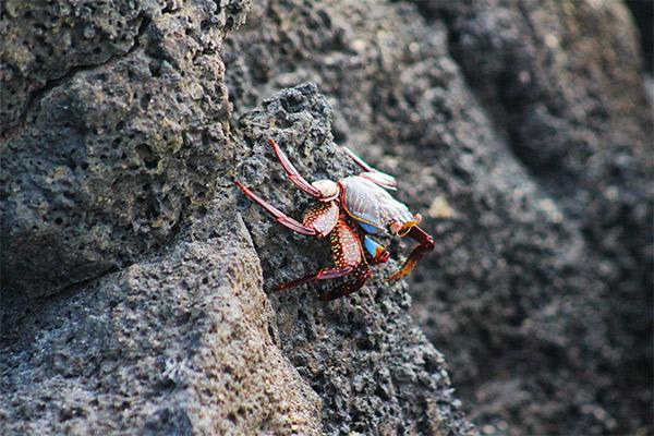 Nemo II's 8-Day Southern Itinerary Day Seven - Sally-Lightfoot Crab on the rocks.