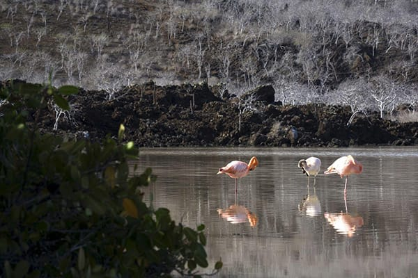 Grace Yacht's Eastern & Central Beyond Darwin's Footsteps 8-Day Itinerary Day Two -  Flamingos at Cormorant Point.