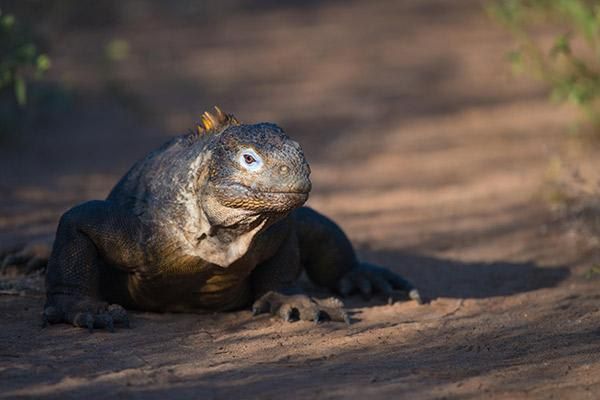 Grace Yacht's Eastern & Central Beyond Darwin's Footsteps 8-Day Itinerary Day Five - Land Iguana.