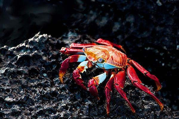 Grace Yacht's Eastern & Central Beyond Darwin's Footsteps 8-Day Itinerary Day Seven - Sally-Lightfoot Crab.