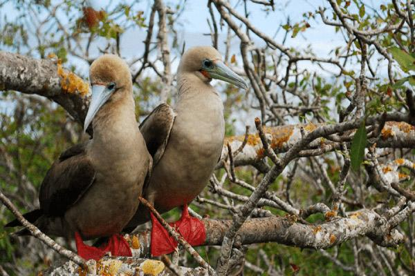 Camila's 5-Day Itinerary Day Three - Red-Footed Boobies.