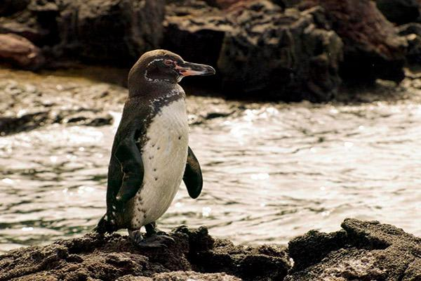 Camila's 8-Day Itinerary A Day Four - Galapagos Penguin Sighting.