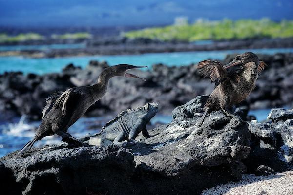 Origin's 15-Day Itinerary 'A+B' Day Eleven - Flightless Cormorant Sighting.