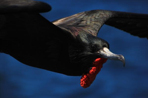 Origin's 15-Day Itinerary 'B+A' Day Nine - Frigate Bird Sighting.