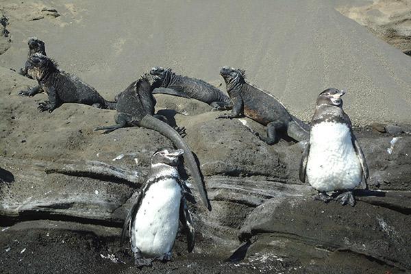 Origin's 15-Day Itinerary 'B+A' Day Thirteen - Penguin and Marine Iguana Sighting.