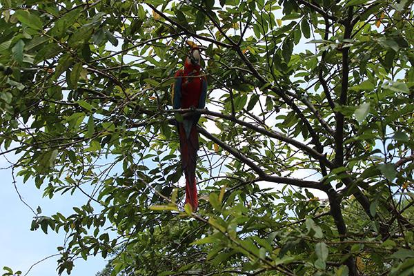 Agua Marina's 4-Day Bird Watching Itinerary Day Two - Parrot sighting in the trees.