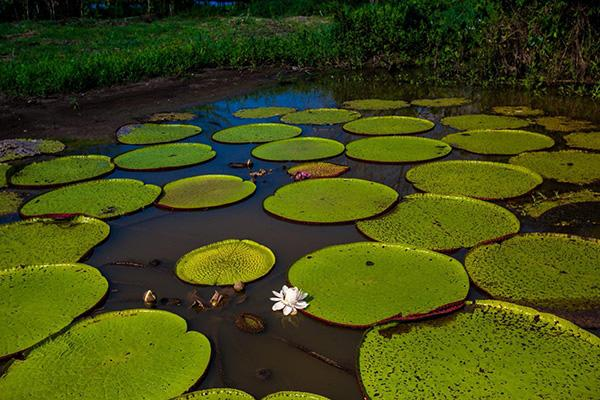 Agua Marina's 5-Day Itinerary Day Four - Giant Victoria Water Lillies.