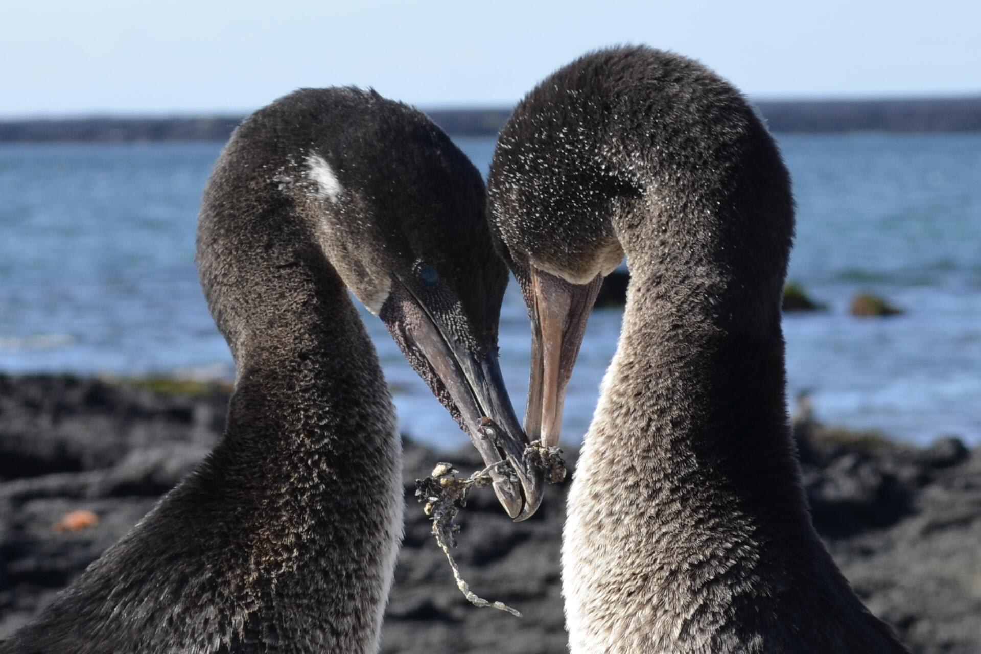 Coral I & II's 8-Day Cruise 'A+B' Itinerary Day Six - Flightless Cormorant Cuddle
