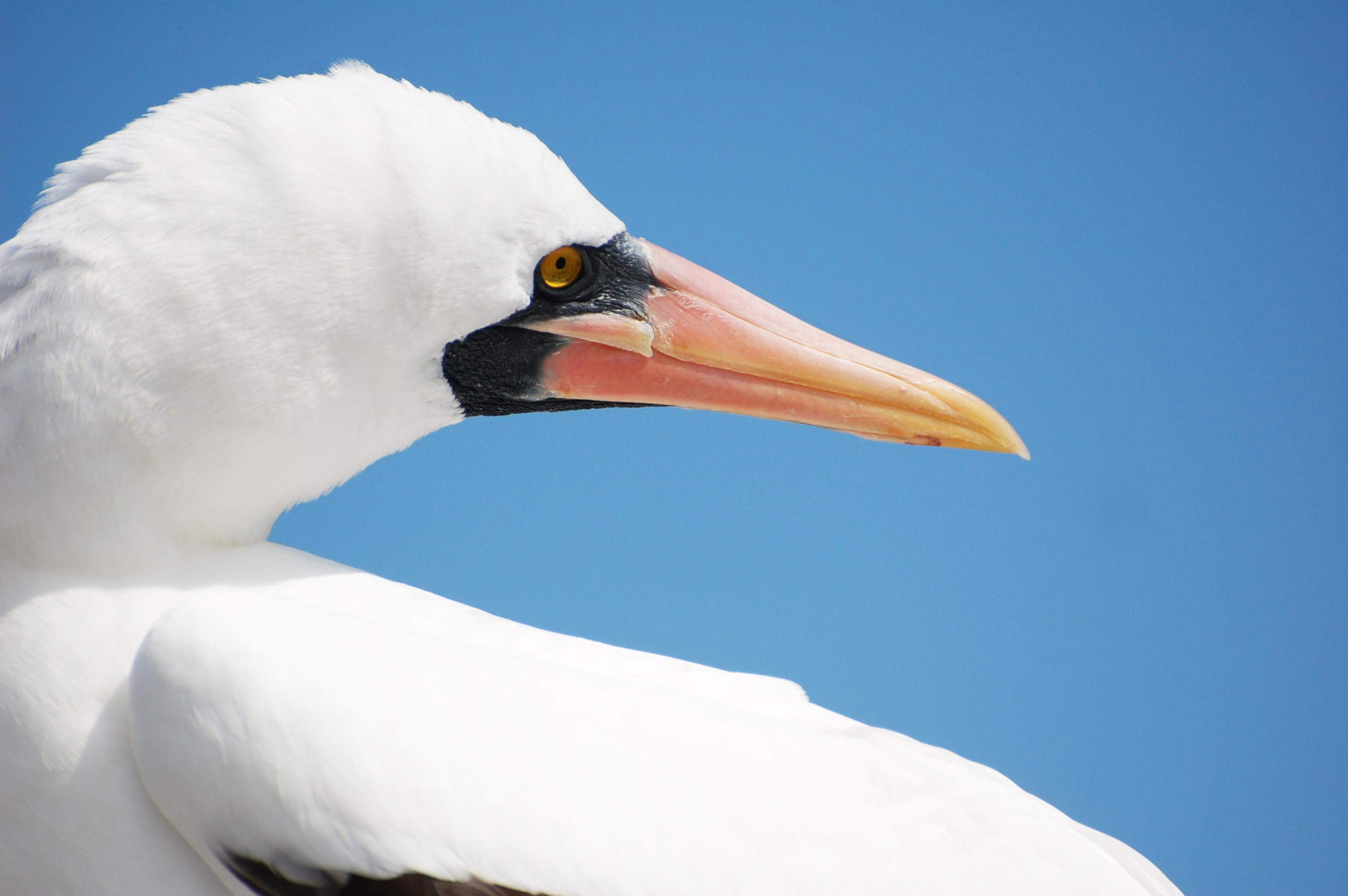 Coral I & II's 8-Day Cruise 'B+C' Itinerary Day Eight - Nazca Booby Sighting.