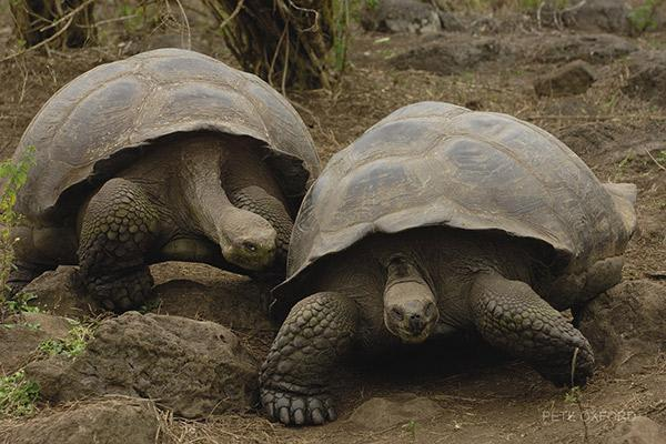 Treasure of the Galapagos 5-Day 'B' Itinerary Day One - Pair of Galapagos Giant Tortoises.