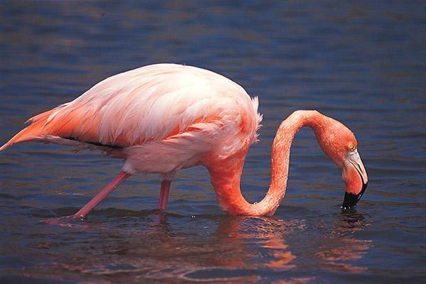 Treasure of the Galapagos 5-Day 'B' Itinerary Day Three - Flamingo Sighting.
