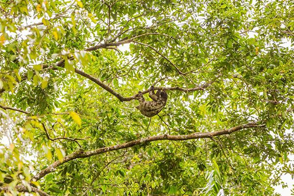 Spondias 6-Day Itinerary Day Three - Sloth Sighting.