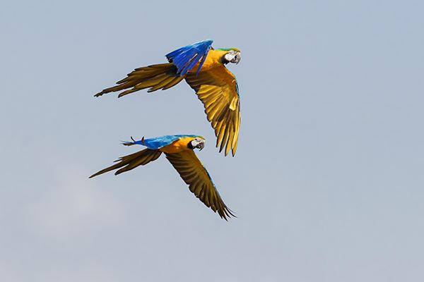 Spondias 8-Day Birdwatching Itinerary Day Six - Blue and Yellow Macaws.