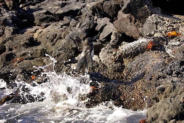 Elite's 8-Day Itinerary 'A' Day Six - Galapagos Penguins and Sally-Lightfoot Crabs.