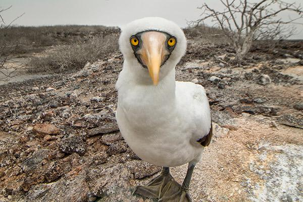 Elite's 8-Day Itinerary 'B' Day Two - Nazca Booby Up Close.