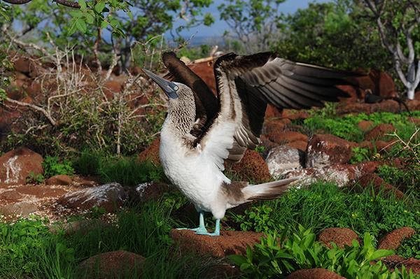 Stella Maris' 8-Day A Itinerary Day One - Blue-Footed Booby.