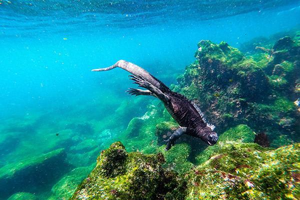 Stella Maris' 8-Day B Itinerary Day Four - Snorkelling with Marine Iguanas.